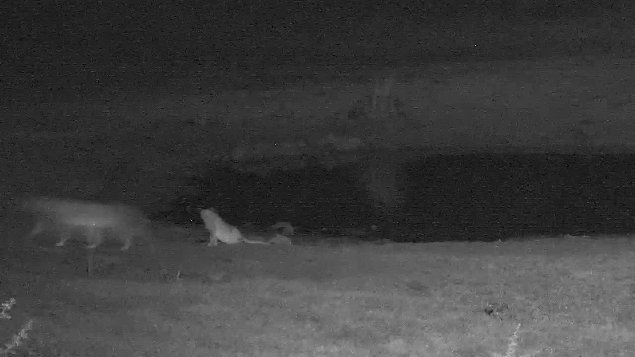VIDEO:  2 female lions with cubs looking around after having a drink.