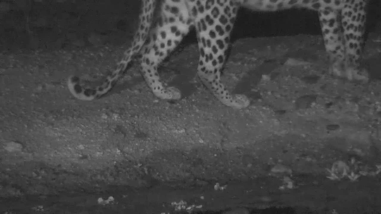 VIDEO: Leopard drinking.. and gone