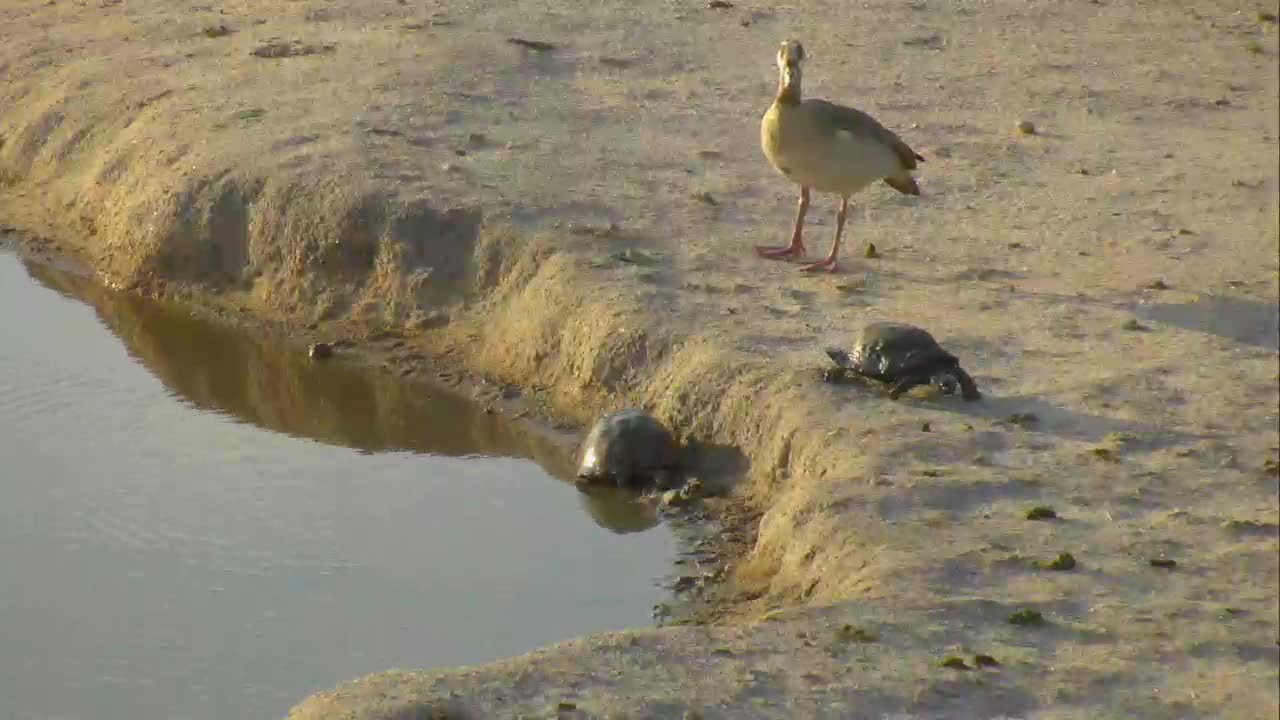 VIDEO: Egyptian Goose observes Terrapin's  coming out of the water.