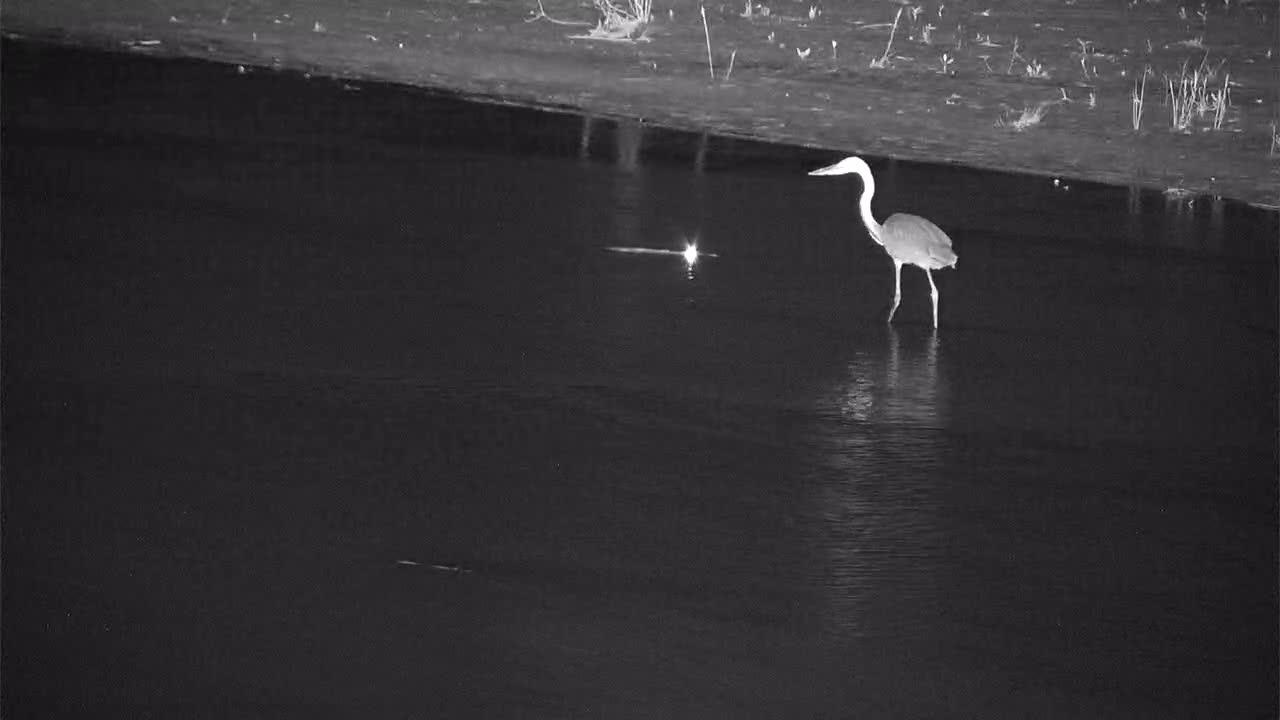 VIDEO: Nile Crocodile had ideas of Heron for midnight snack