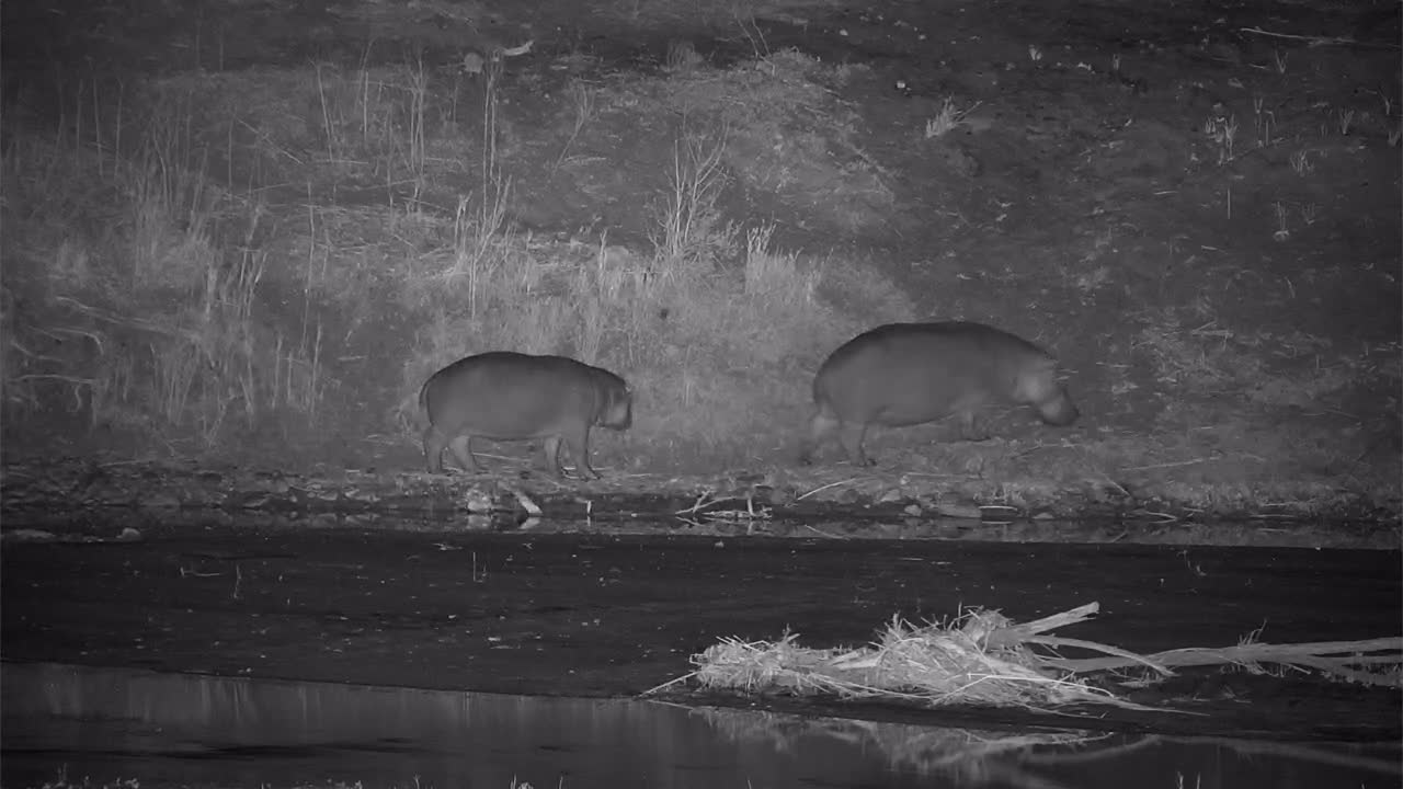 VIDEO:   Hippos lumbering along the river's edge