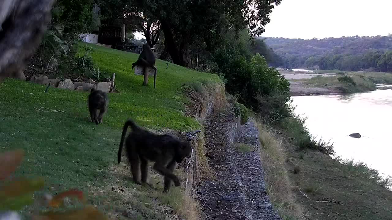 VIDEO:  Baboons playing before night falls