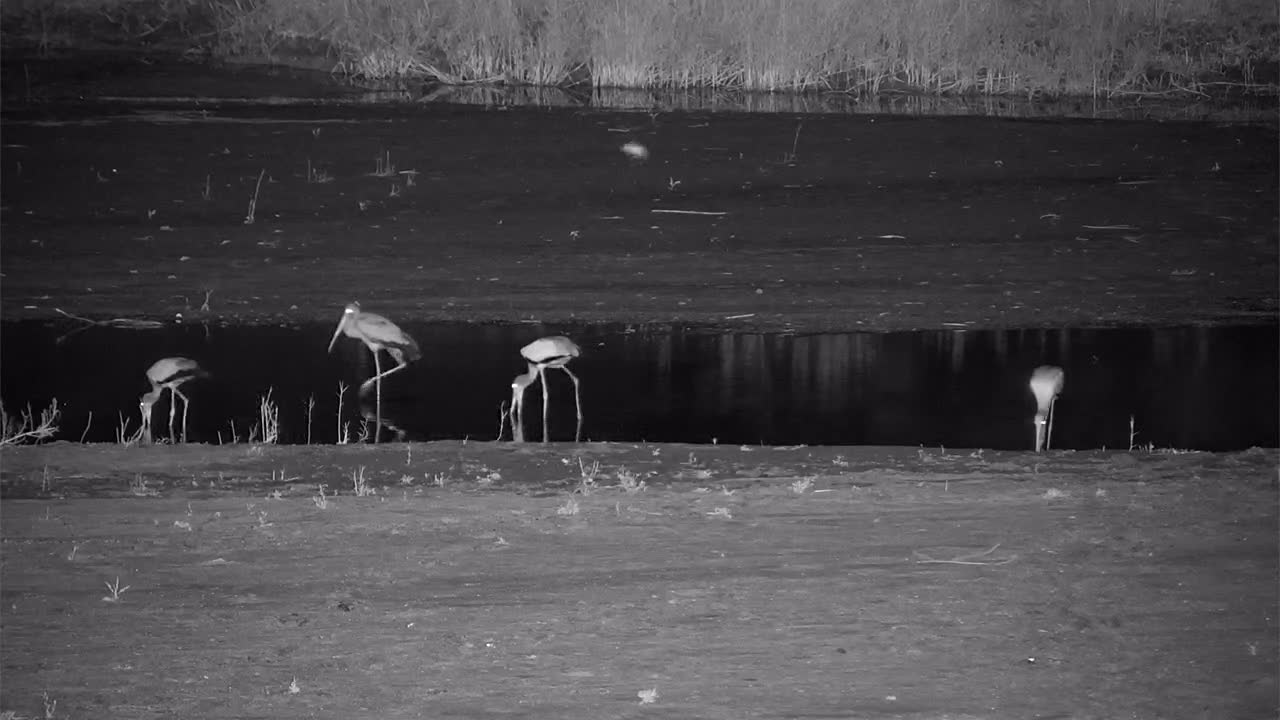 """VIDEO:  Yellow-billed Storks """"fishing"""" in the river"""