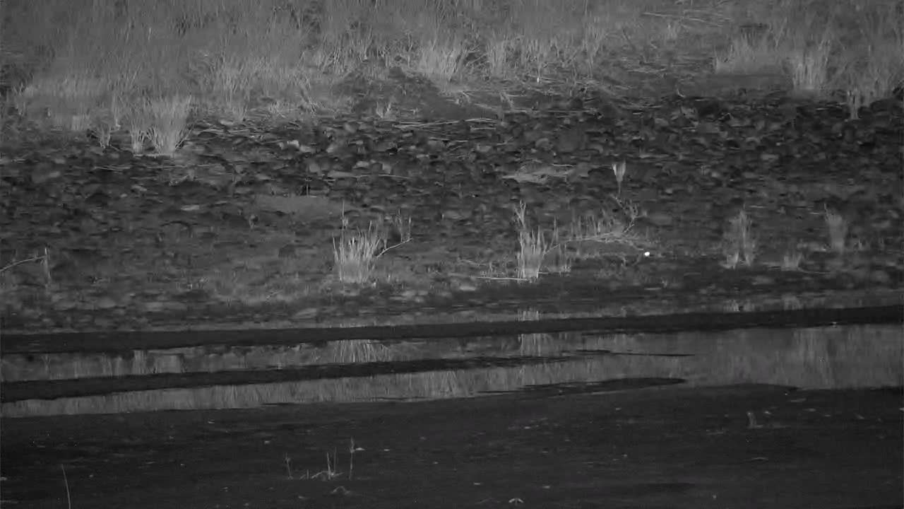 VIDEO:   Genet hunting along the river bank