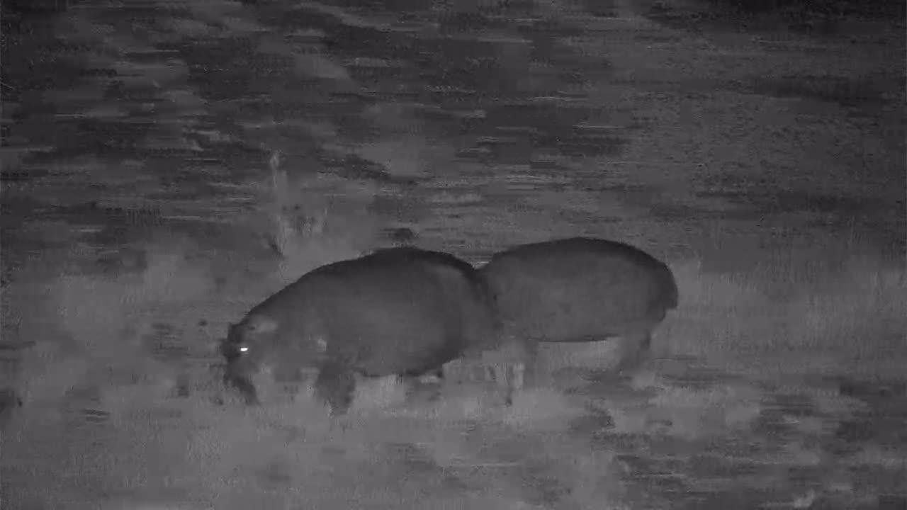 VIDEO: Hippos graze along the shore