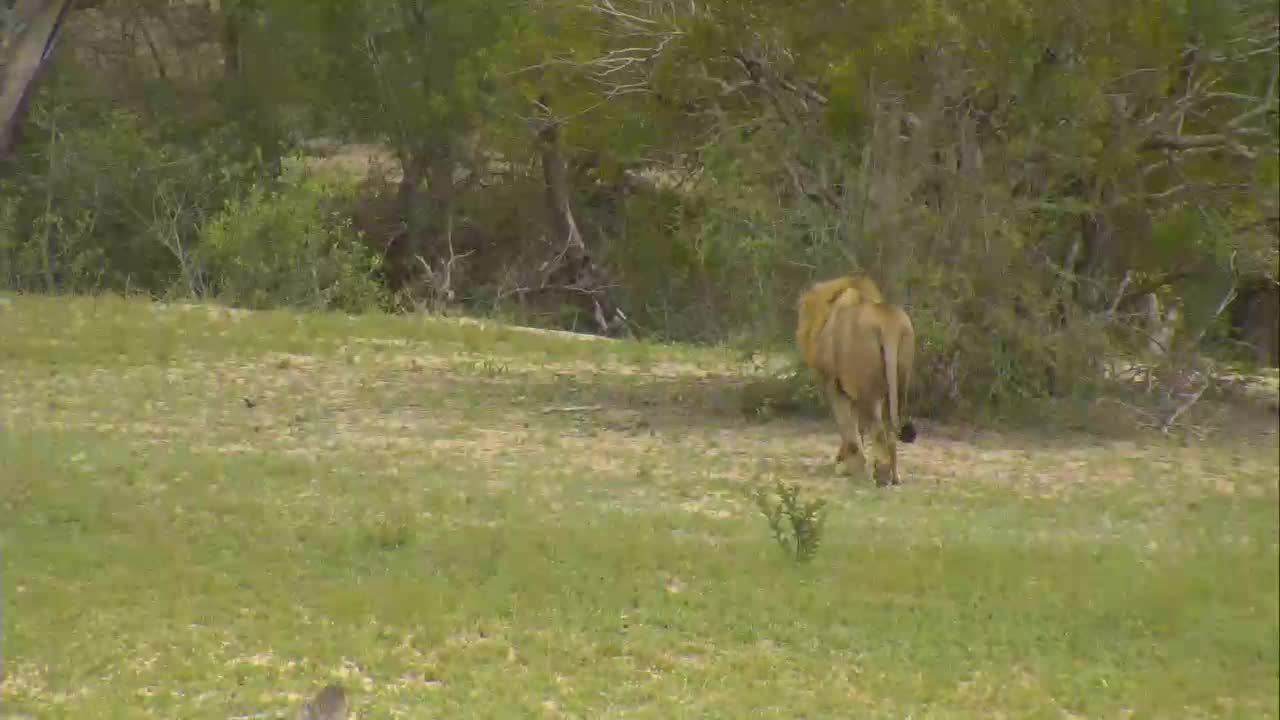 VIDEO: Male Lion stopped by for a drink from a puddle before moving on