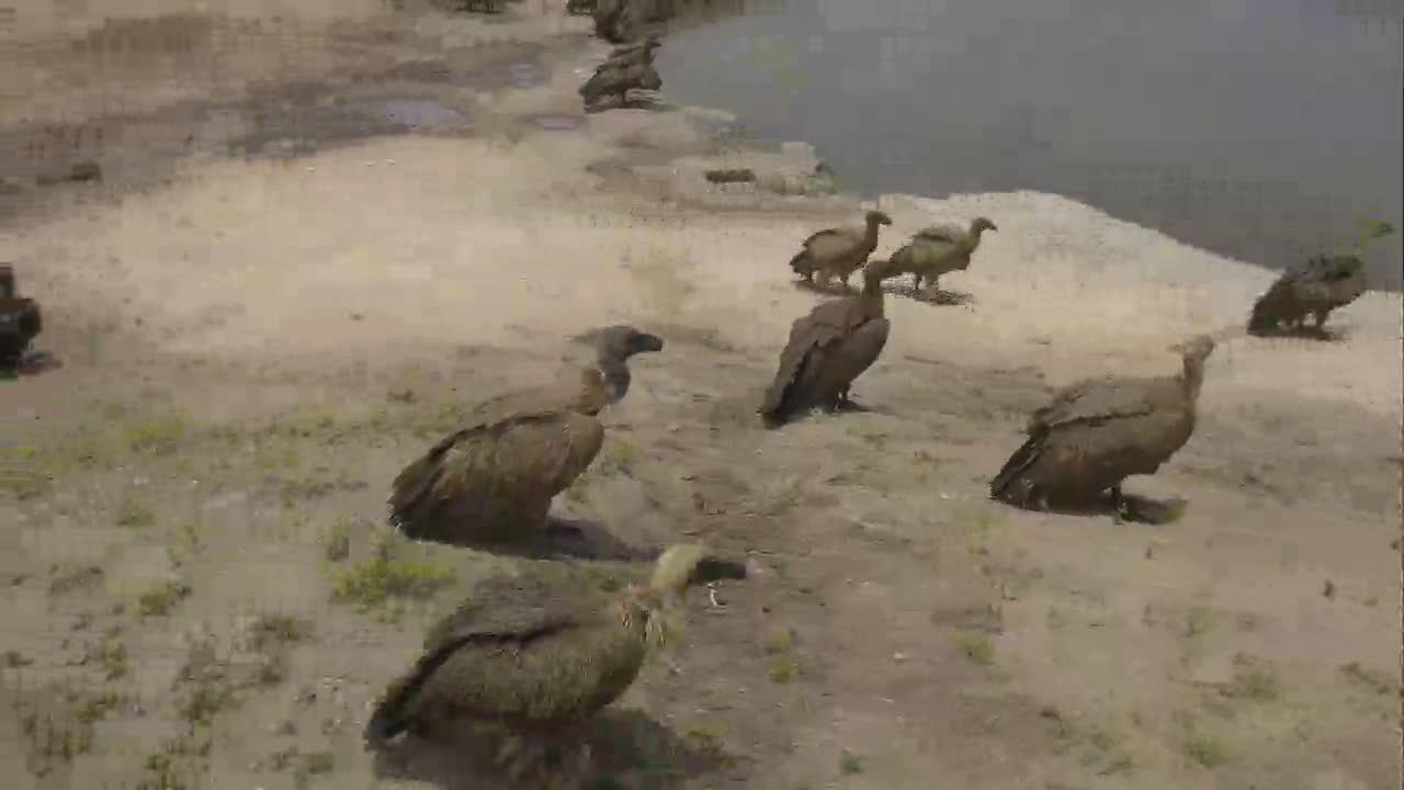VIDEO: Vultures  around  the   waterhole