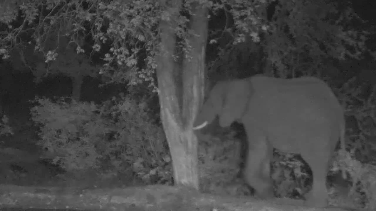 VIDEO:  ELEPHANT pushing on a tree with its trunk.