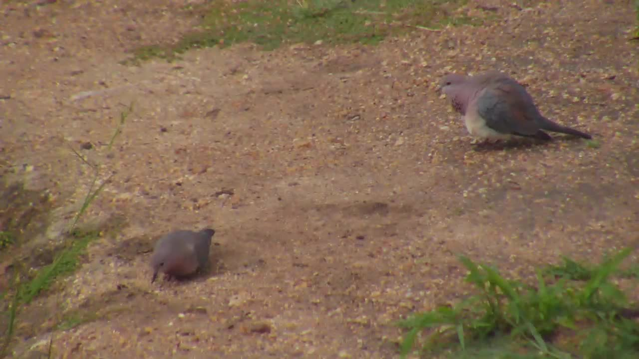 VIDEO: Courtship behavior of the Laughing Doves