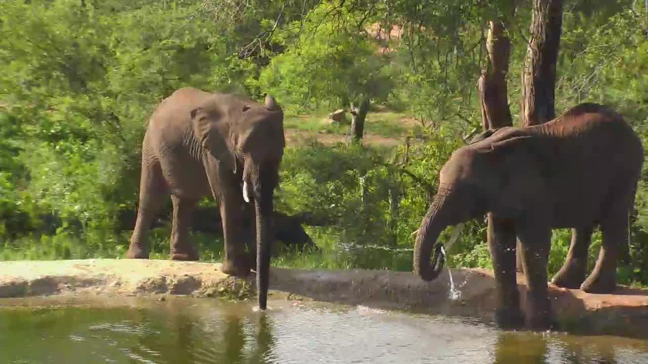 VIDEO: Elephants - drinking and playing with the water