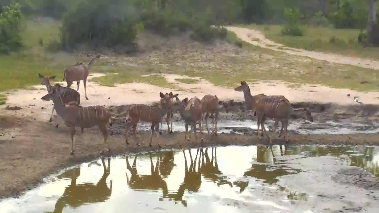 VIDEO: Kudu at  the  waterhole