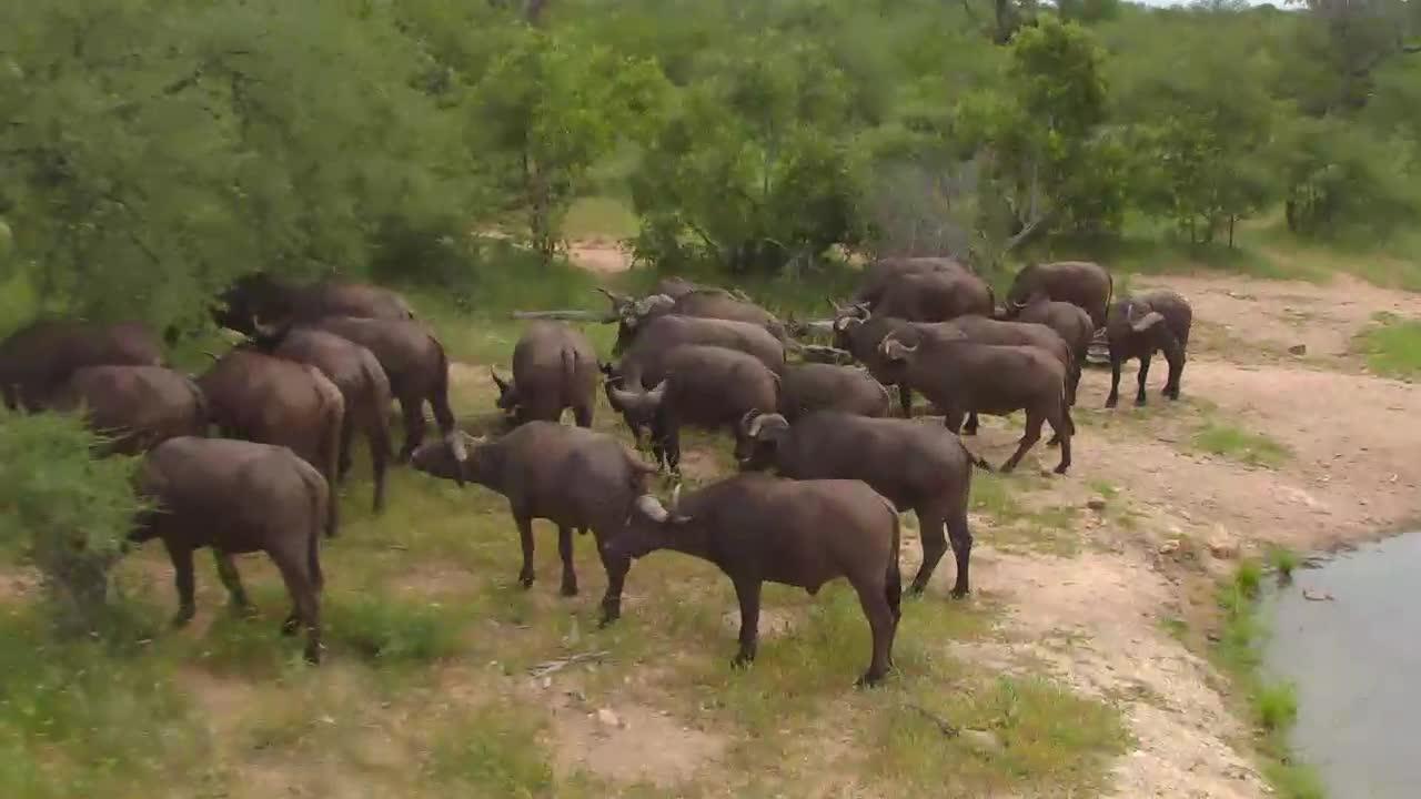 Cape Buffalo Herd drinking at NA