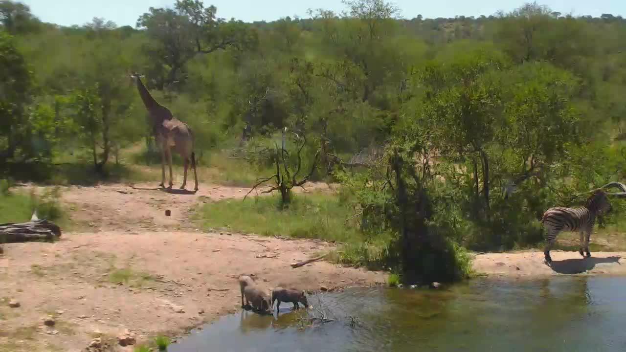 VIDEO:  Giraffe, zebra and warthogs together at Naledi