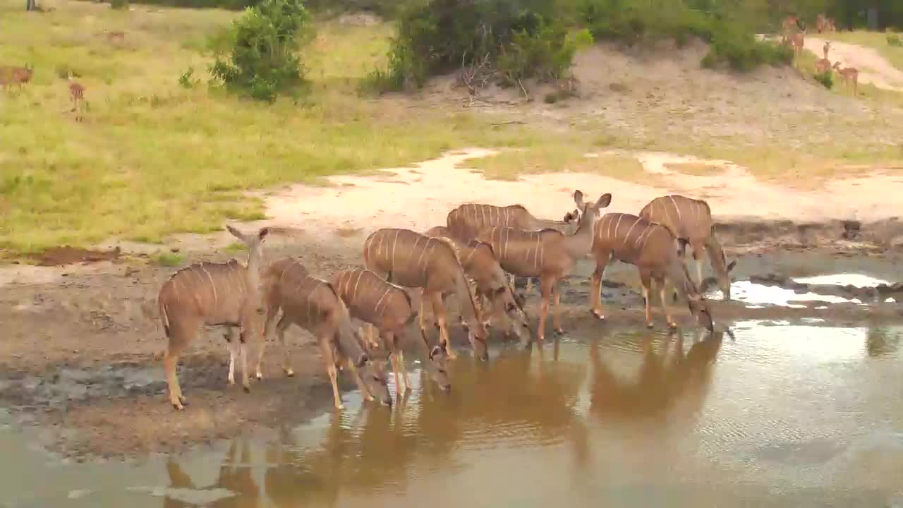 VIDEO: Lots of Kudu and Impala coming for a drink