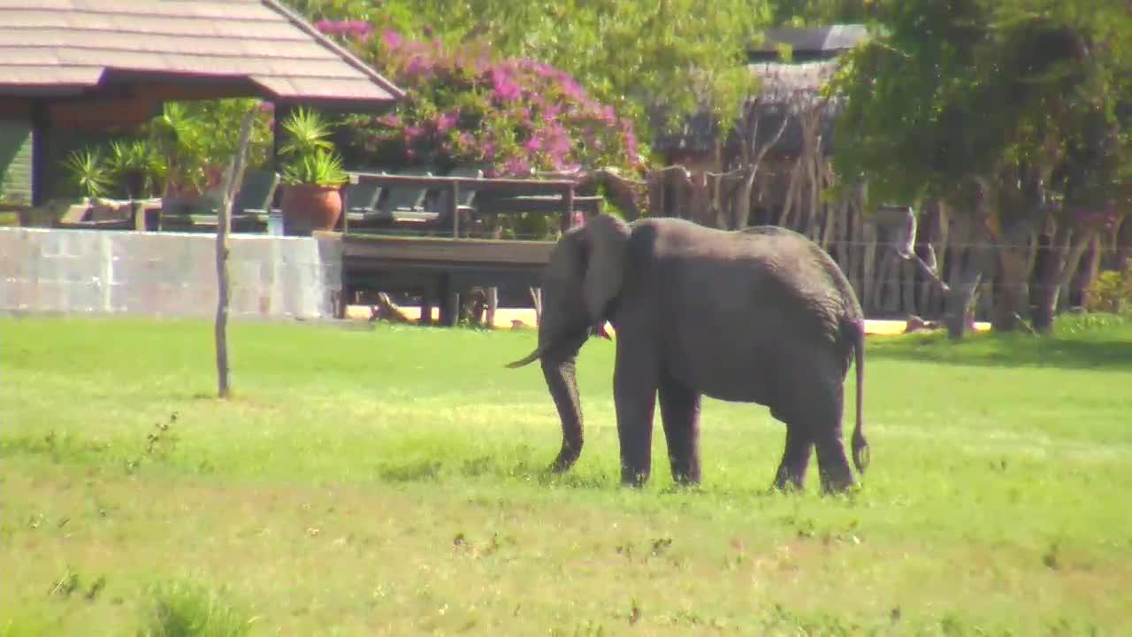 VIDEO:Elephant grazing near the lodge