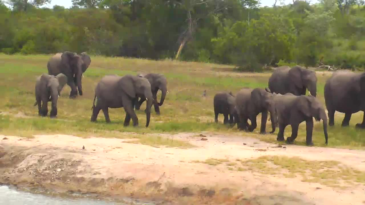 VIDEO: Elephant breeding herd with small young ones at the waterhole