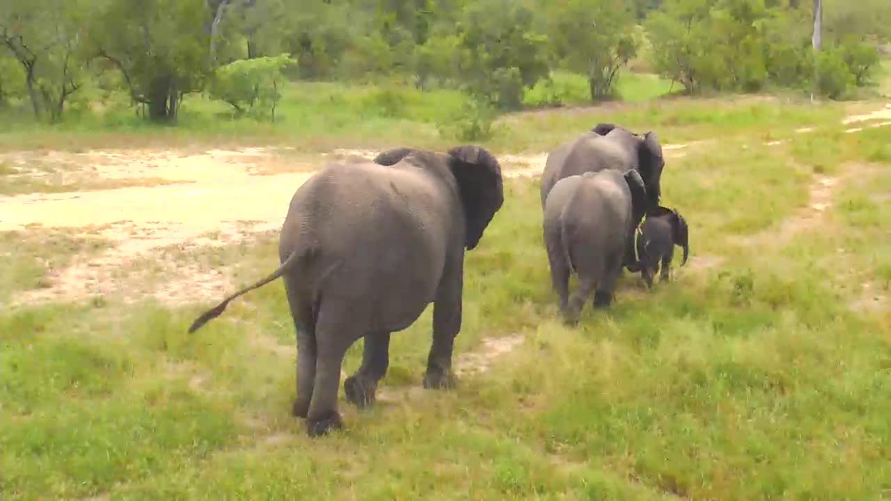 VIDEO: Elephant breeding herd leaving