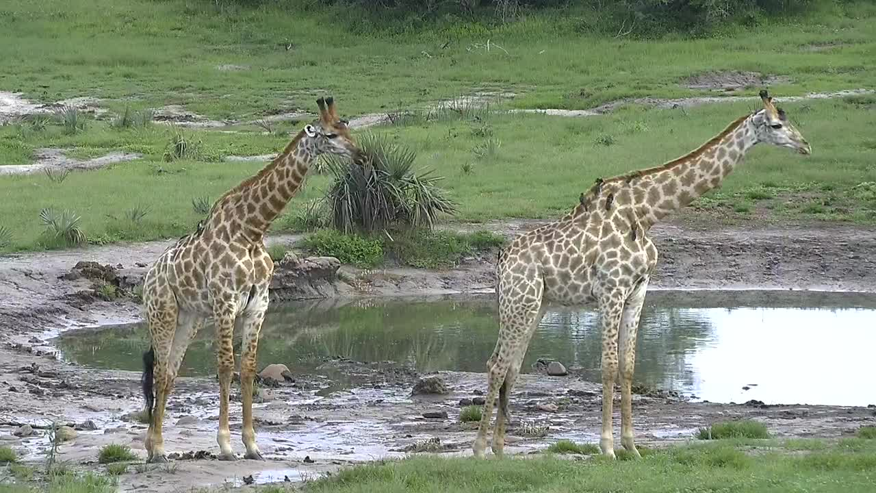 VIDEO: Giraffes - like statues - near the water - Oxpeckers are looking for parasites