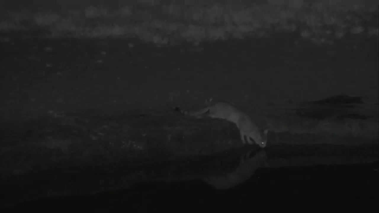 VIDEO: African Wildcat Has a Drink and Looks Around