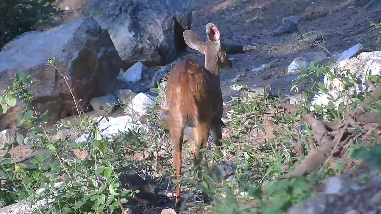 VIDEO: Bushbucks feeding and resting in the shade at the steep riverbank