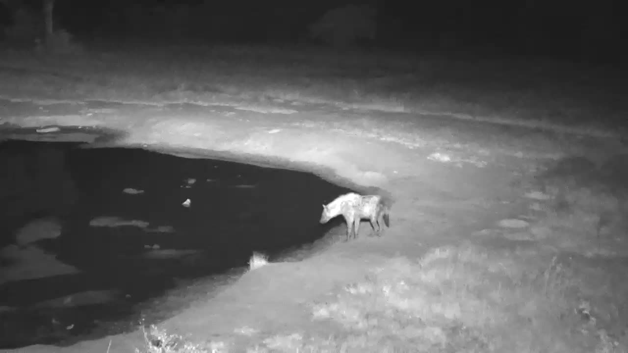 VIDEO: Hyaena walks along the shore, stops for a drink and wanders off into the darkness