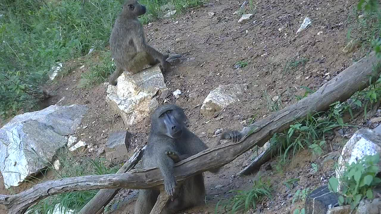VIDEO Baboons grooming and relaxing time at the bank of the Olifants River
