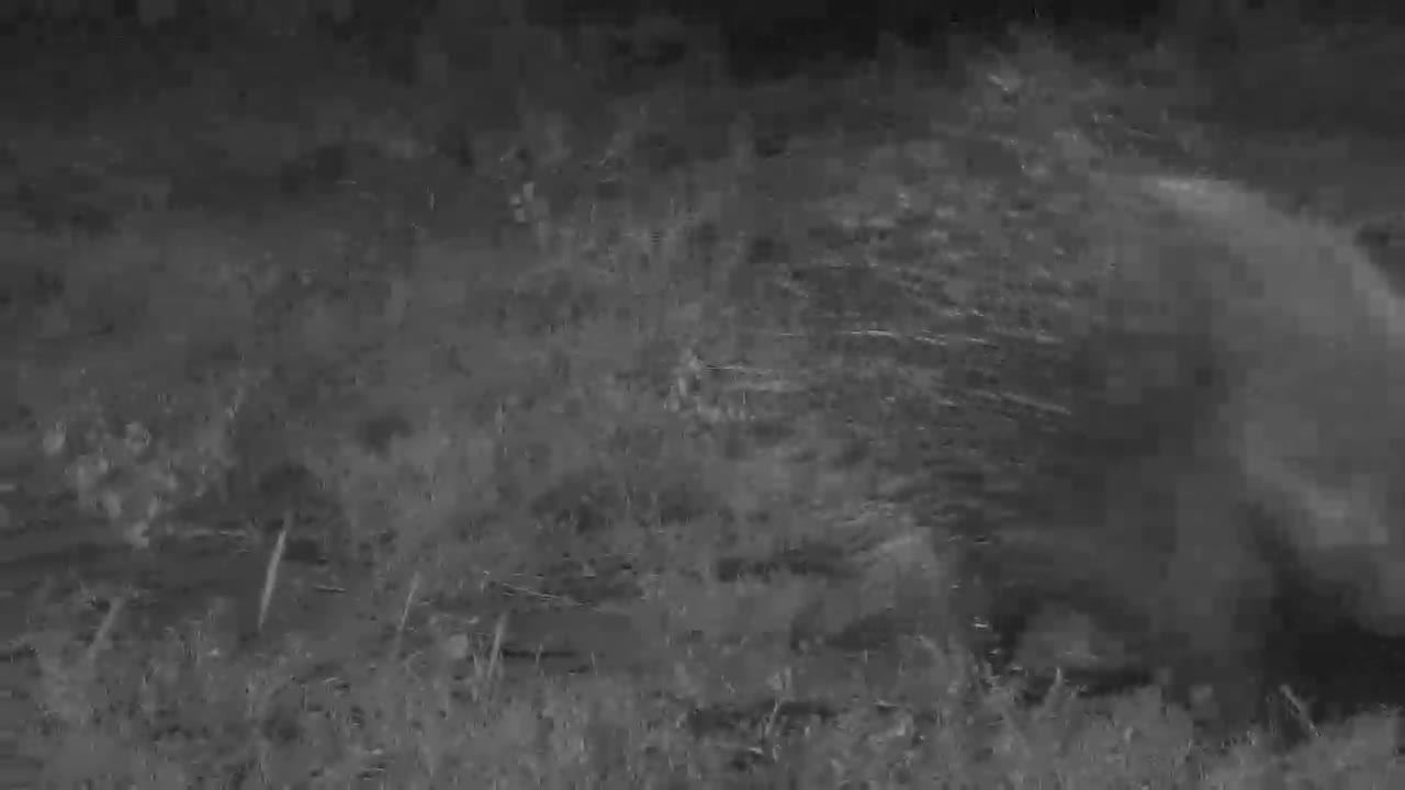 VIDEO:  Porcupine walking by...