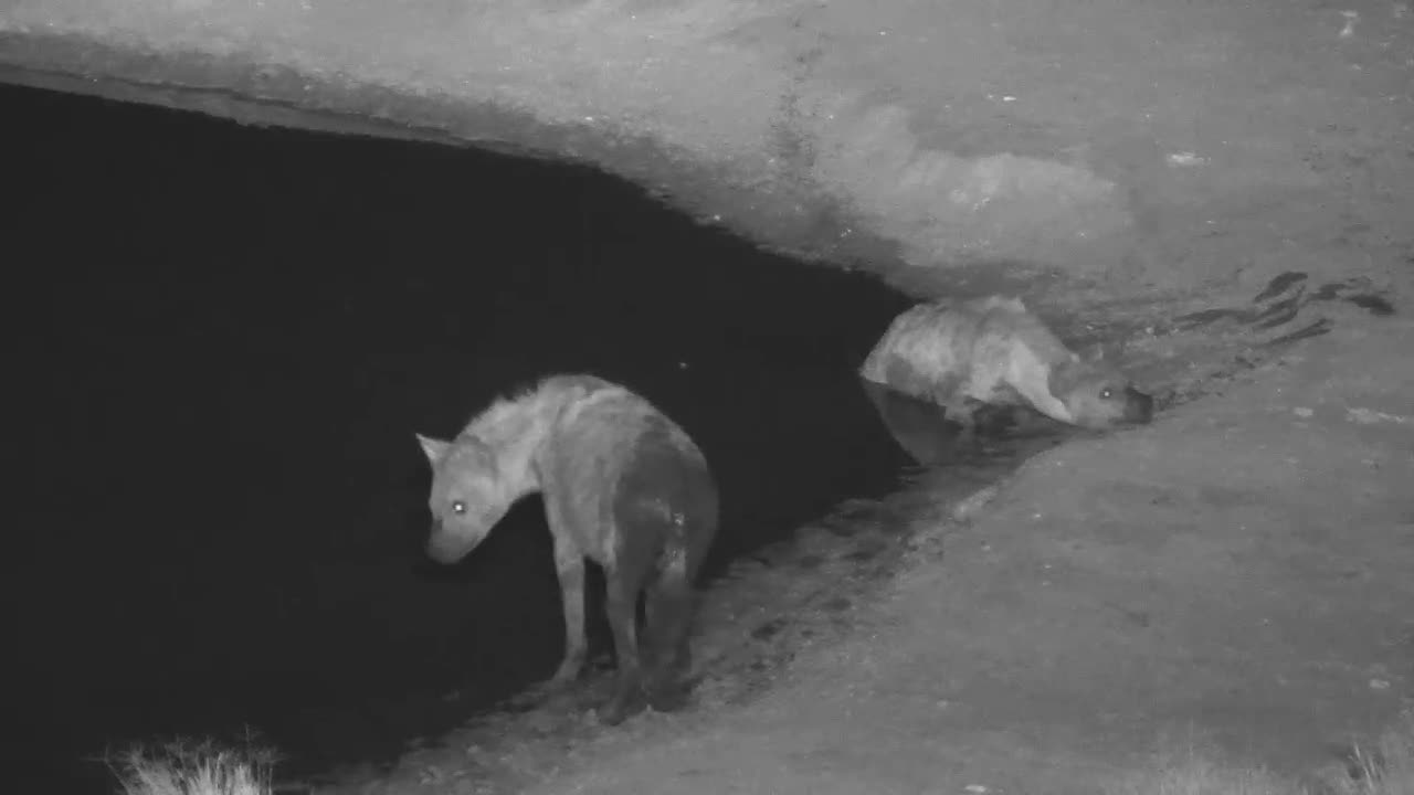 VIDEO: Four very thirsty Hyaenas came to drink and cool down to the waterhole