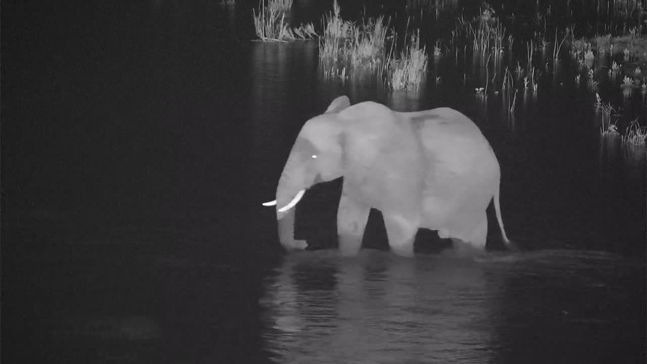 VIDEO:  Elephant having a drink and then crossing the river