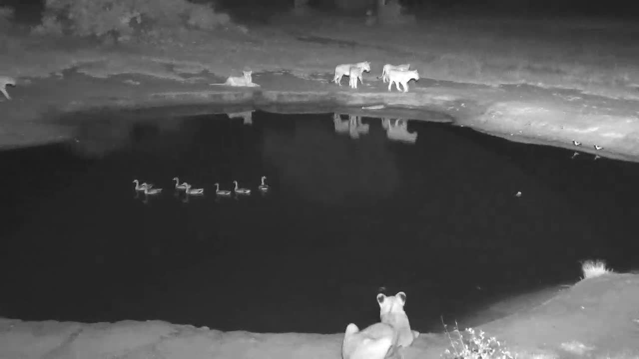VIDEO:Large pride of 11 lions walked by the waterhole