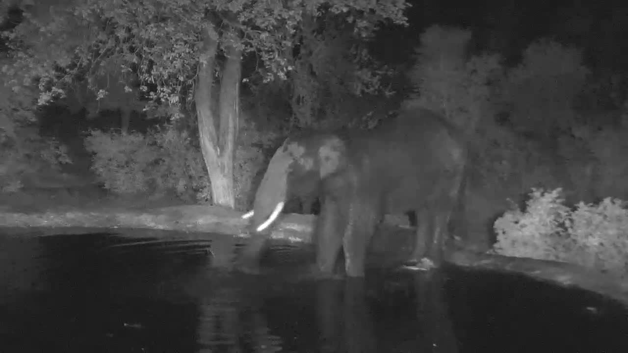 VIDEO:  Male ELEPHANT cooling off with water
