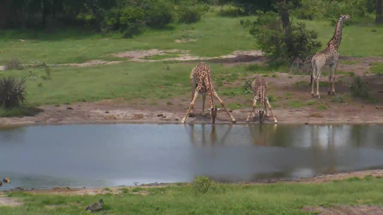 VIDEO:Giraffes came for a drink to the waterhole