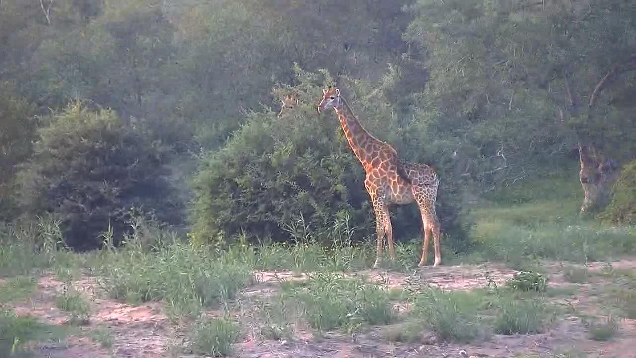 VIDEO:  Giraffe family grazing