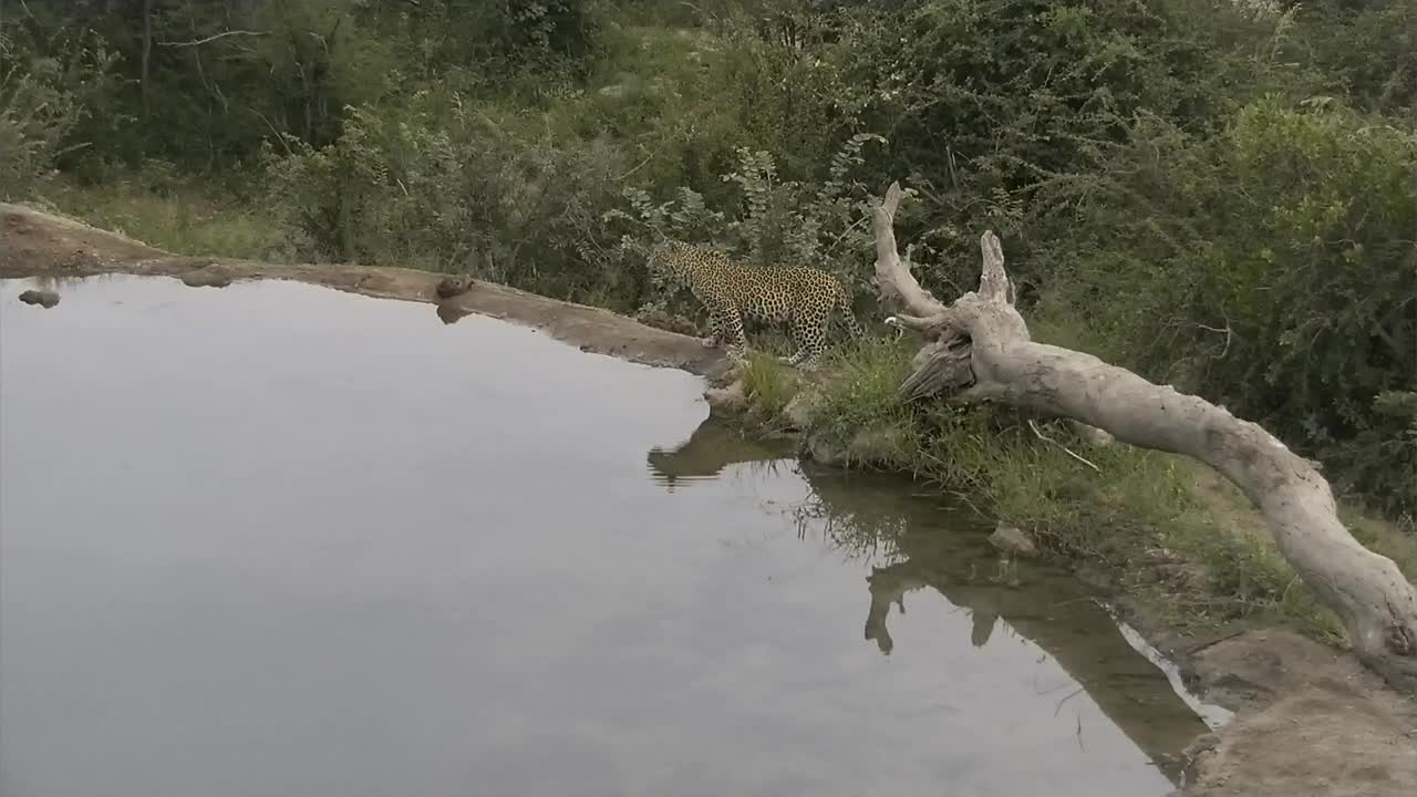 VIDEO: Leopard with small cub exploring the area