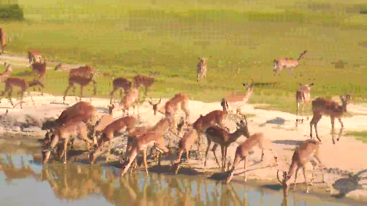 VIDEO: Impala having a drink