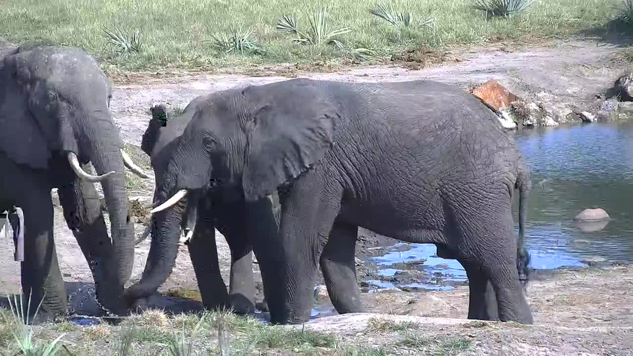 VIDEO: Elephants - a bit quarrelsome - everybody wants the fresh water