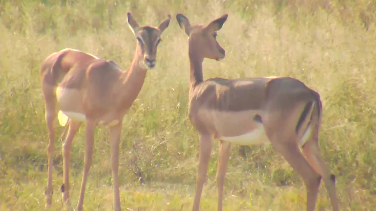 VIDEO: Impalas grooming each other