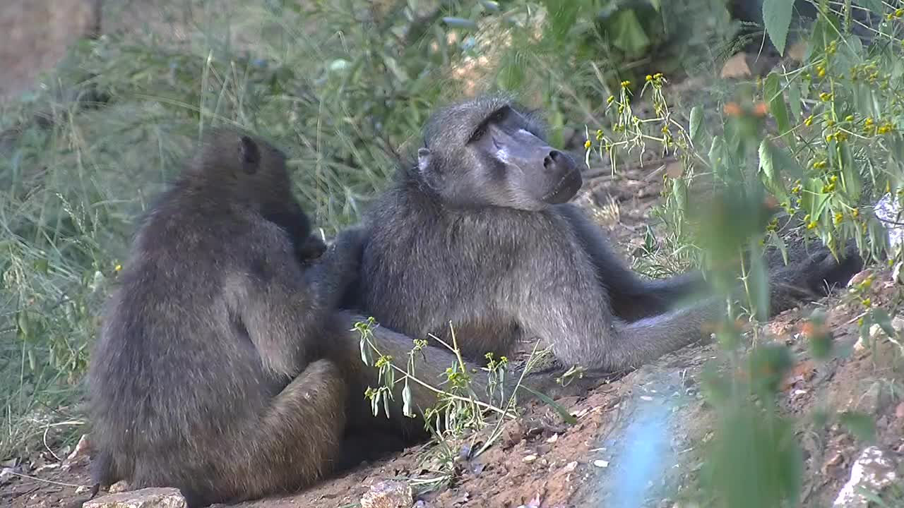 VIDEO: Baboon's grooming time