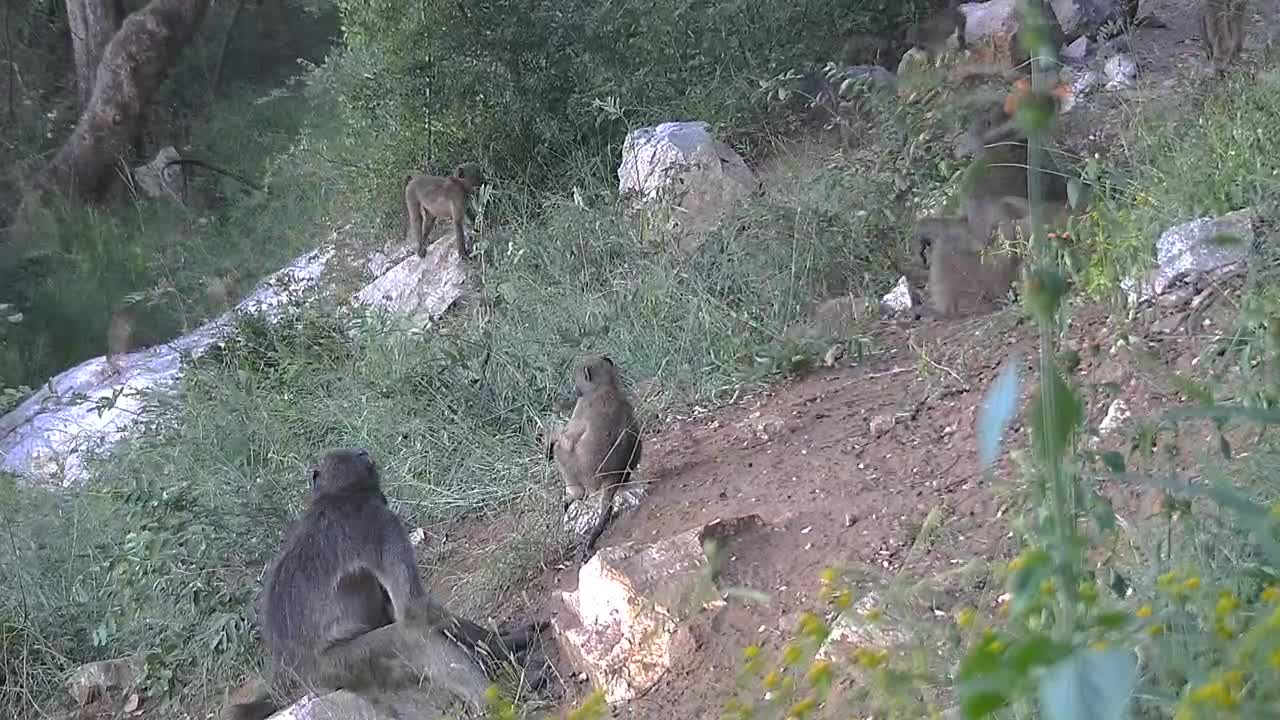 VIDEO: Baboons grooming -  and playing time for the youngsters