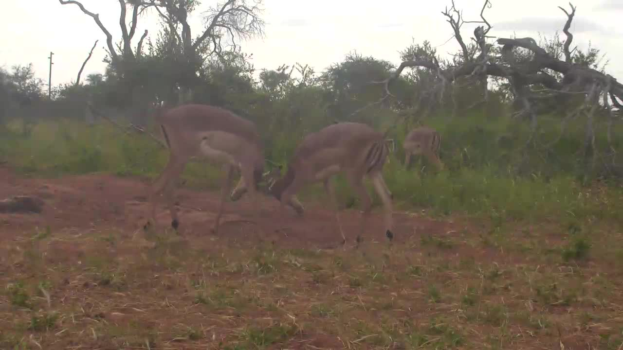 VIDEO:  Impala testing each others strength