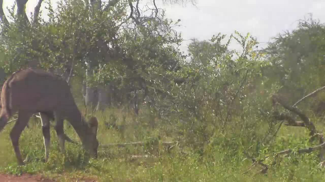 VIDEO: Kudu Family grazing next the waterhole and Impalas passing by