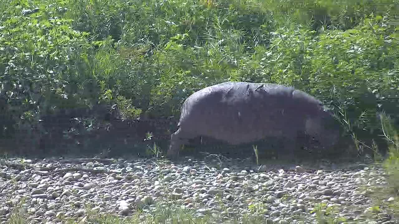 VIDEO: Hippo hurries to come into the cool water after grazing