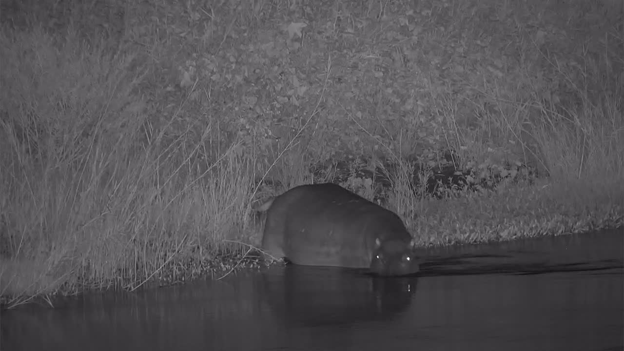 VIDEO: Hippo comes back from grazing, went back into the water searching for a place to rest and submerges