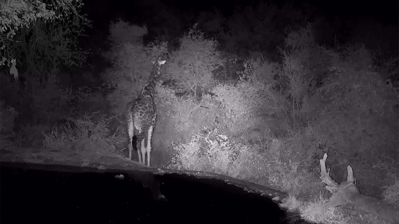 VIDEO: Giraffe walks right on past the waterhole