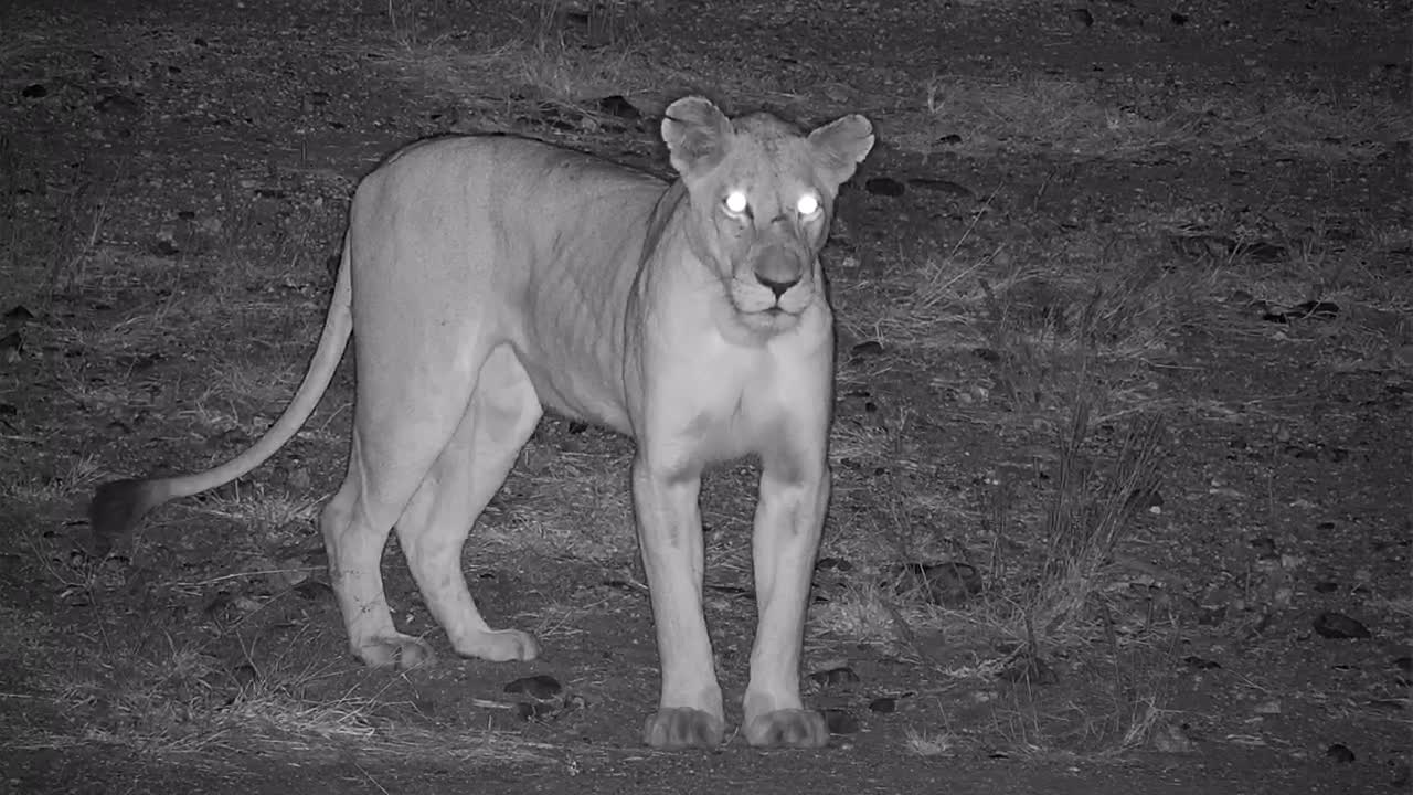 VIDEO: Lioness is watching something