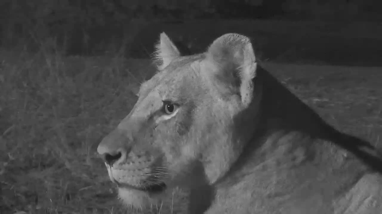 VIDEO: 2 Male Lions arrive at waterhole to meet 2 Lionesses