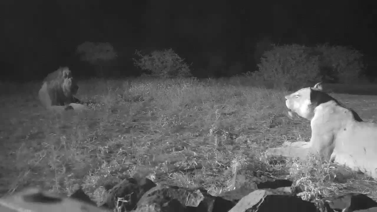 VIDEO: Lion & Lioness relax by the waterhole - nice closeup views of the Male