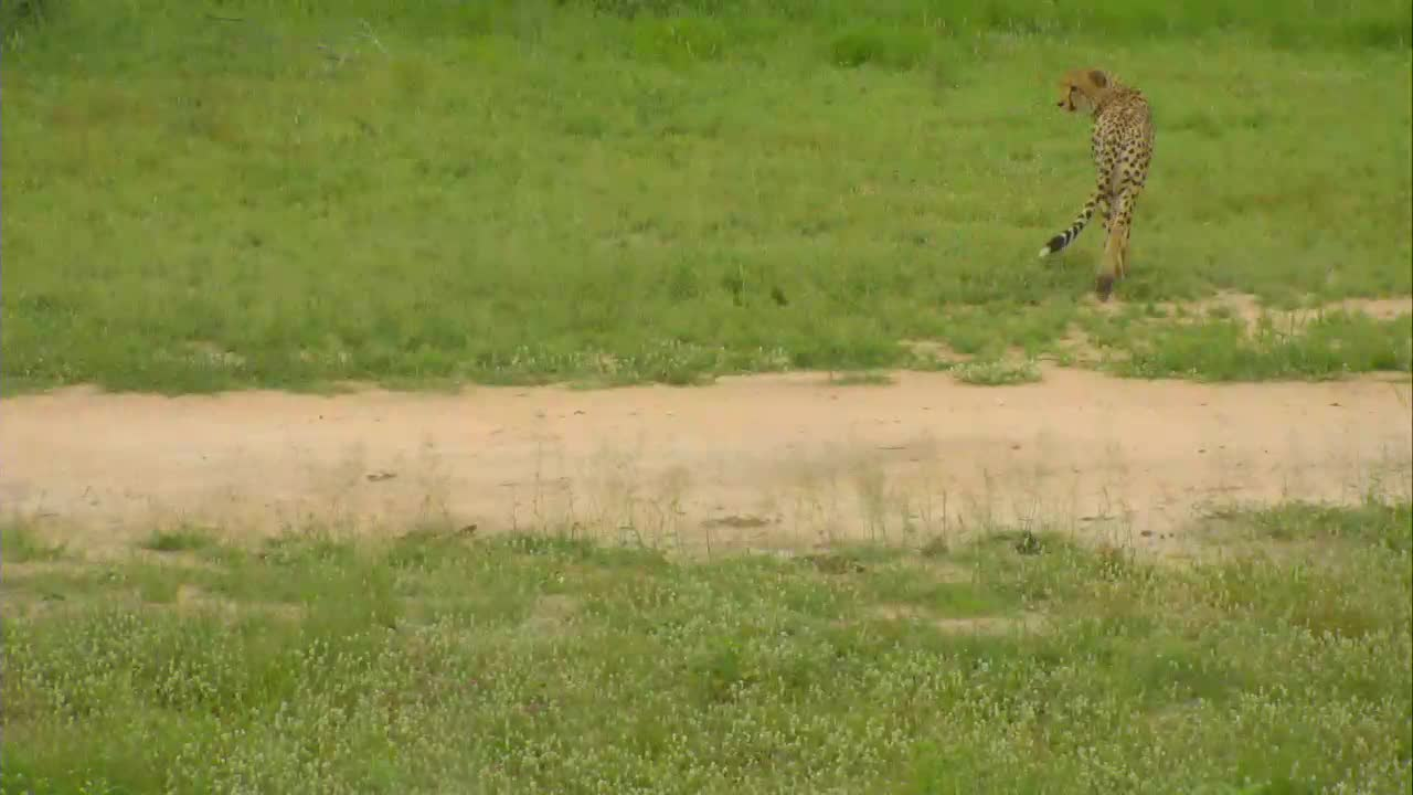 VIDEO:Cheetah departs the area