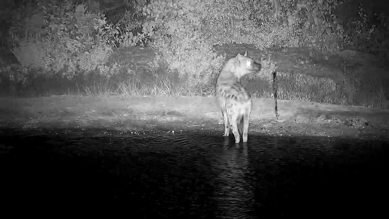 VIDEO:3 Hyaenas in the water and away they go