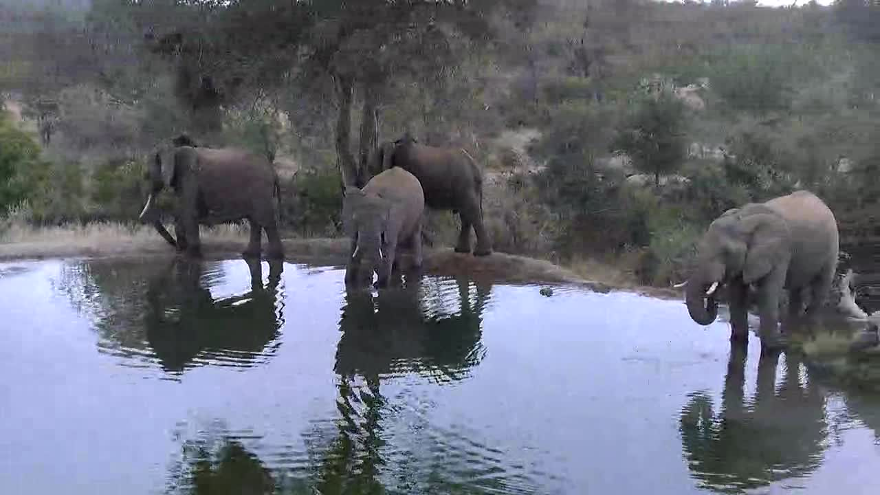 VIDEO: Elephants came for a long drink to the waterhole